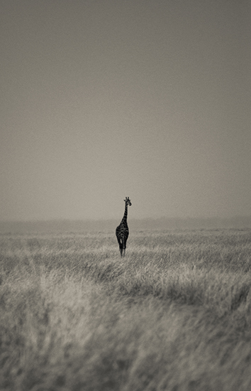 giraffe 11x17.jpg