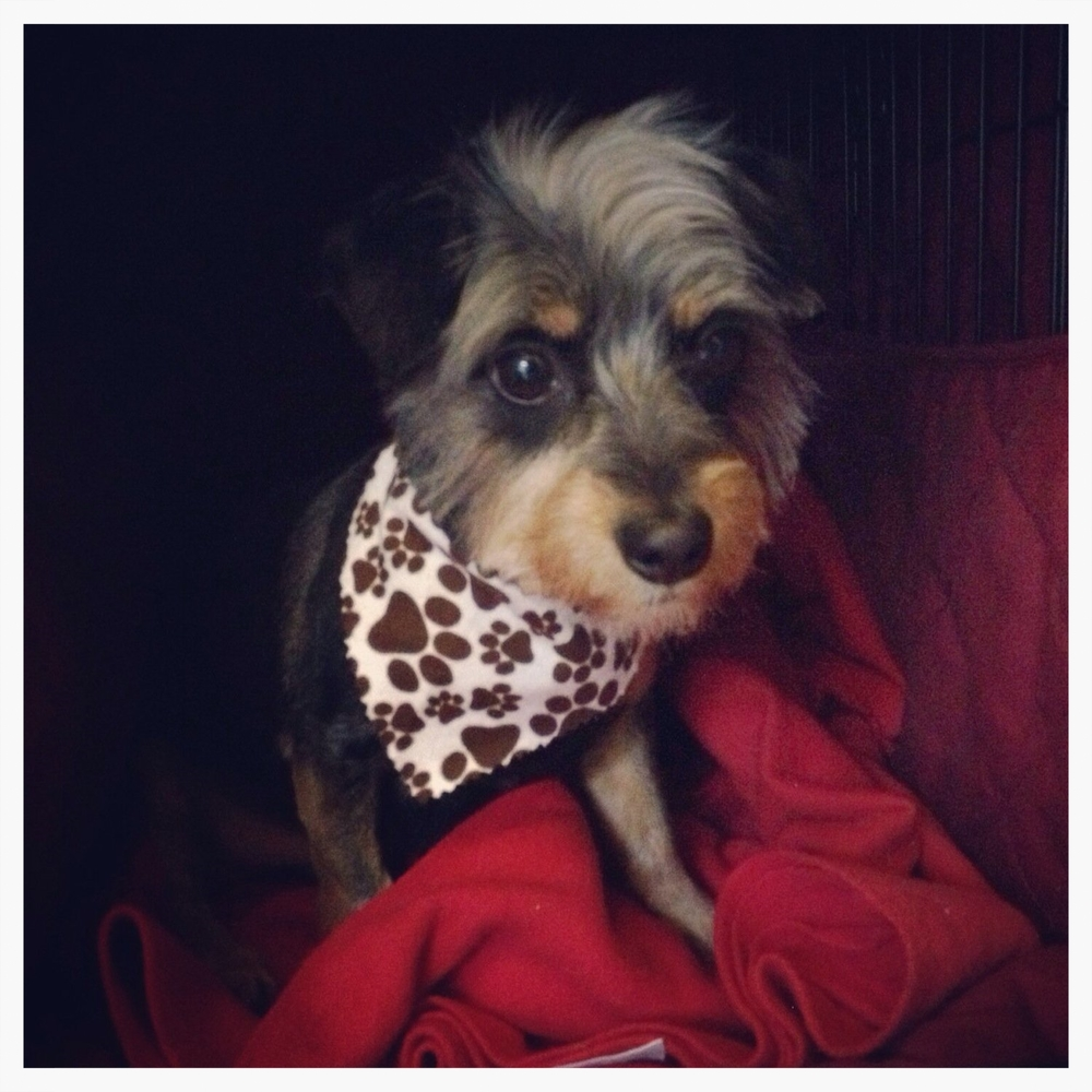 My dog Duple wearing a bandana.