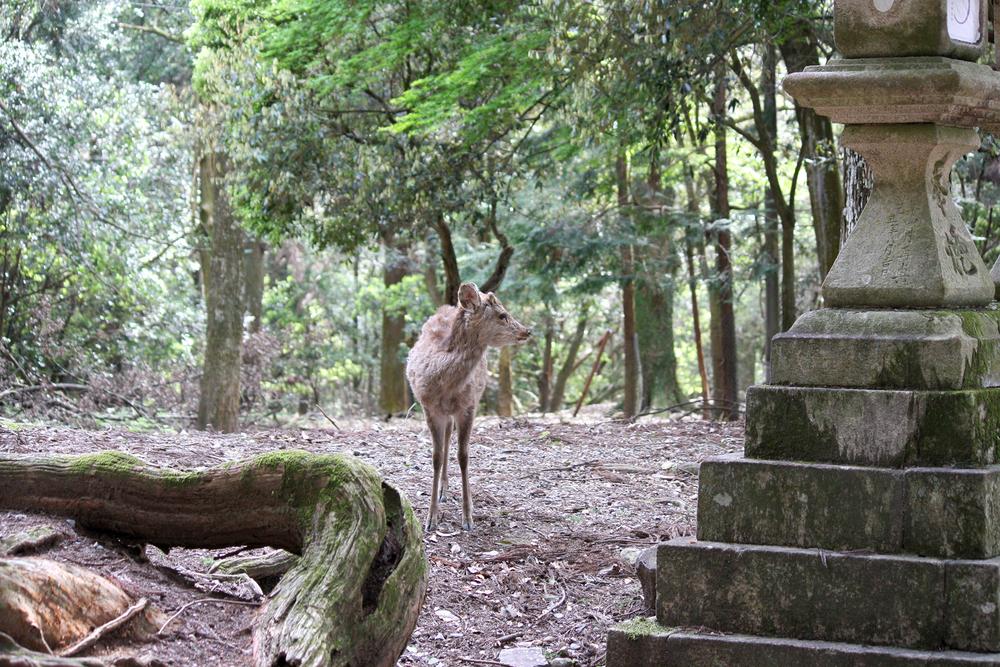 Wild Sika Deer, Nara