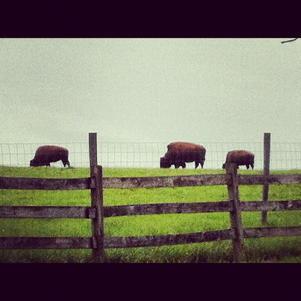 Where the buffalo roam (Taken with  Instagram  at Buck Run Rd)