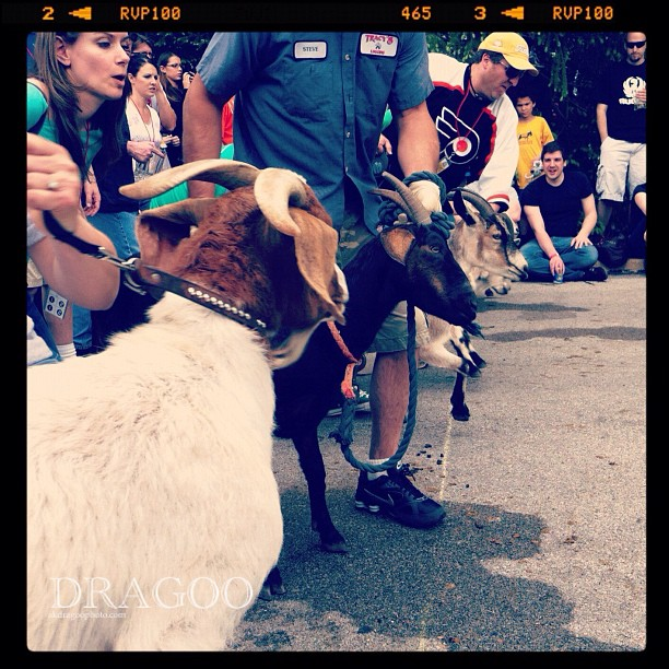 And they're off!  (Taken with  Instagram  at Slyfox Goat Races 2012)