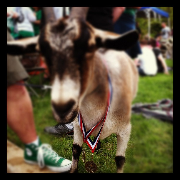 Peggy (Taken with  Instagram  at Slyfox Goat Races 2012)