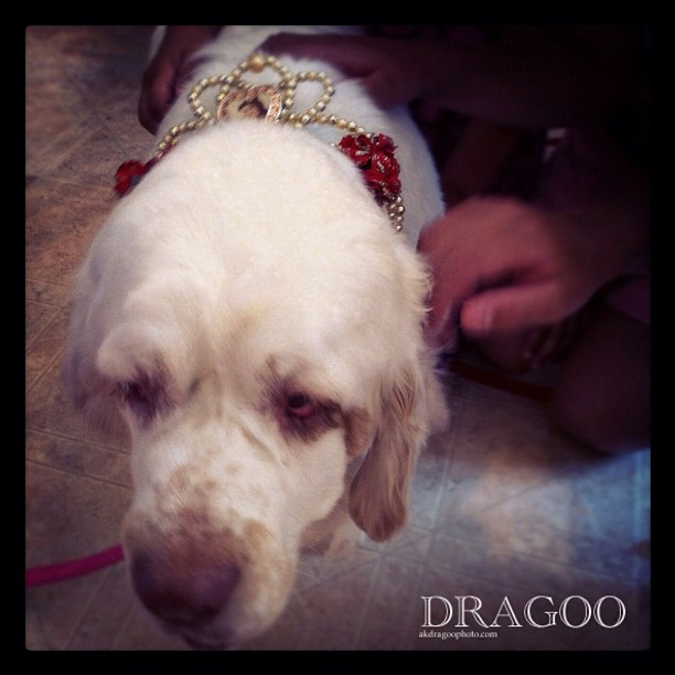 Princess Rose #christyandthedogs (Taken with Instagram)