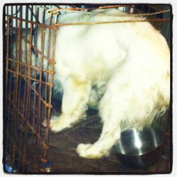 Stuck in the crate. #coneofshame (Taken with Instagram)