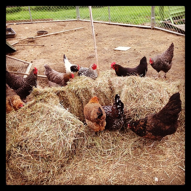 Yuky bale of hay. Happy hens. #livingwithchickens