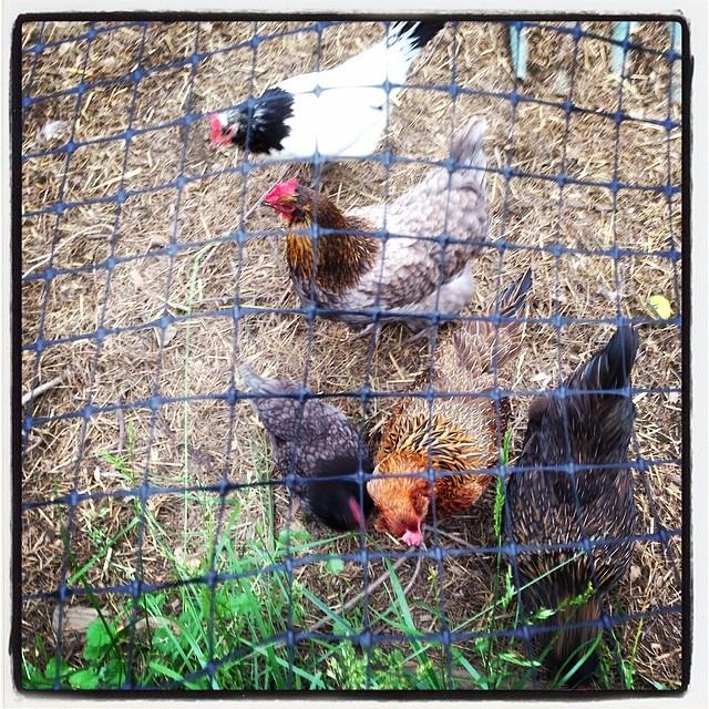 Hen buffet line. #livingwithchickens