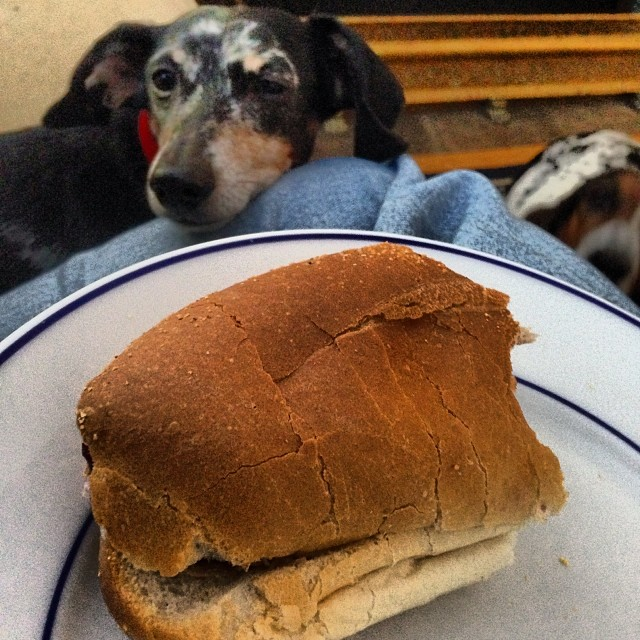 Doxie wants a sandwich.