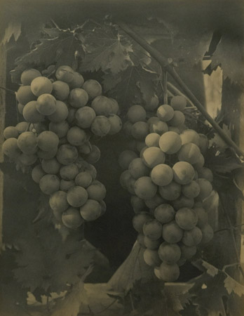 Edwin Hale Lincoln Untitled (Still Life with Grapes), 1912  11 x 14 inches vintage platinum print