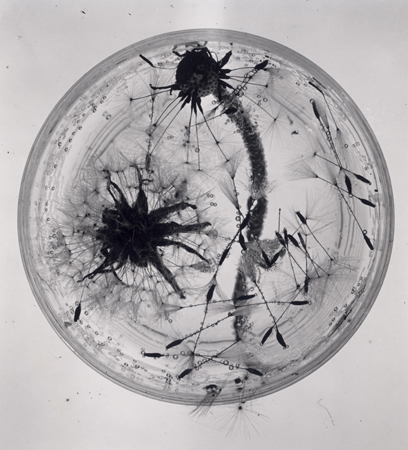 ringl+pit Dandelions, 1931 8.25 x 7.5 inches silver print