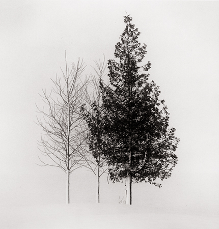 Tree Portrait, Study #4, Wakoto, Hokkaido, Japan, 2002 8 x 7.5 inches edition of 45 toned silver print