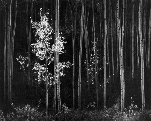 Aspens, Northern New Mexico, c.1950s 18 x 22.75 inches silver print
