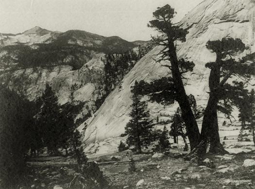 Sierra Junipers, Upper Merced Basin, Yosemite Valley, c.1923-27 5.75 x 7.75 inches vintage parmelian print