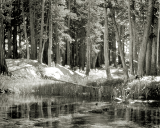 Lodgepole Pines, Lyelle Fork of Merced River, 1921 2.75 x 3.75 inches vintage silver print