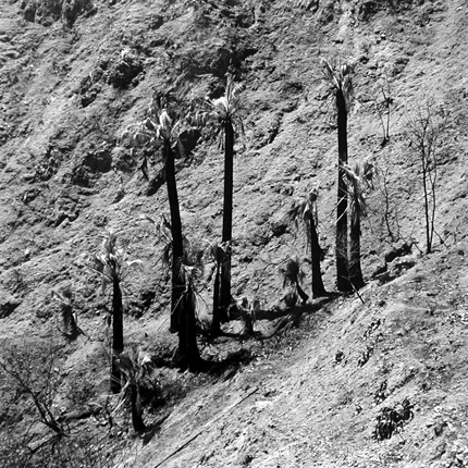 Burned Palm Trees, Soboba Hot Springs, California, 1979 from  The Fault Zone  13.75 x 13.75 inches vintage silver print