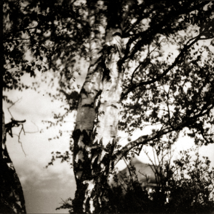 Untitled (birch tree in the wind), c.1920s 2.5 x 2.5 inches vintage silver print