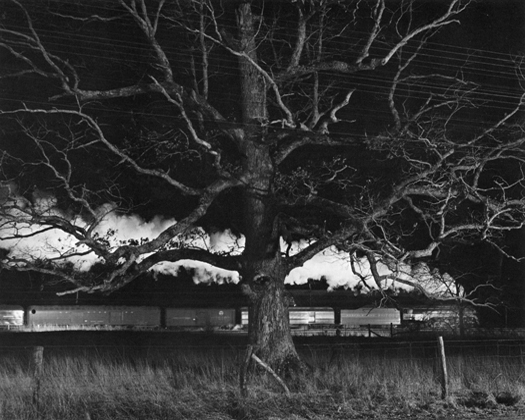 NW1643 Giant Oak, Max Meadows, Virginia, 1956 20 x 24 inches silver print