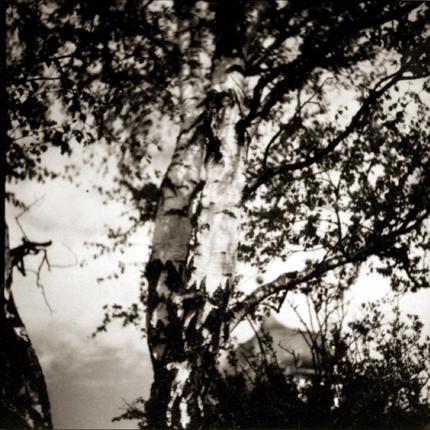 Birken im Wind, c.1920s 3.5 x 3.25 inches vintage silver print
