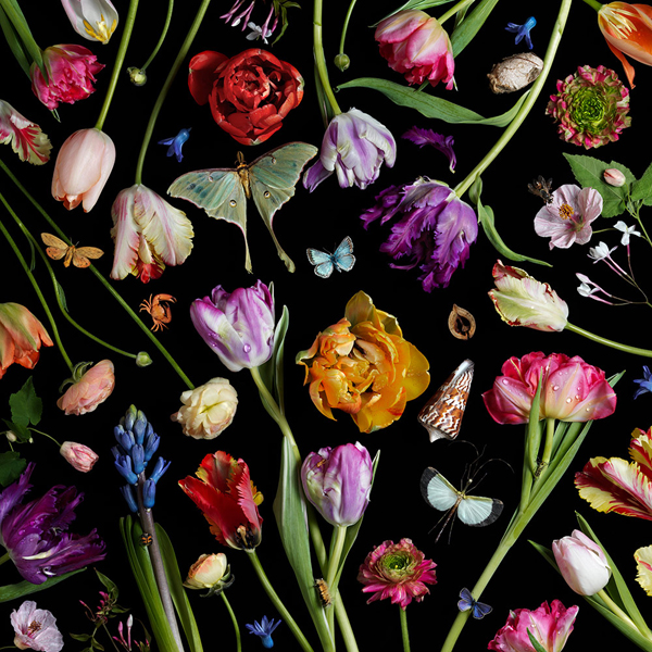 Botanical VII (Tulips), 2014 from the series:  Botanicals  24 x 24 inches (edition of 7) 36 x 36 inches (edition of 5) archival pigment print