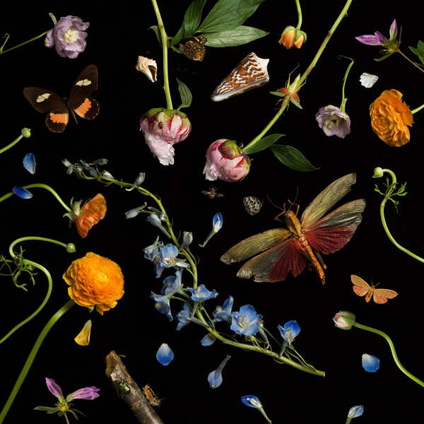 Botanical II (Ranunculus and Delphiniums), 2013 from the series:  Botanicals  24 x 24 inches (edition of 7) 36 x 36 inches (edition of 5) 52 x 52 inches (edition of 3) archival pigment print