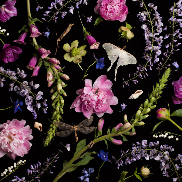 Botanical V (Peonies and Wisteria), 2013 from the series:  Botanicals  24 x 24 inches (edition of 7) 36 x 36 inches (edition of 5) 52 x 52 inches (edition of 3) archival pigment print