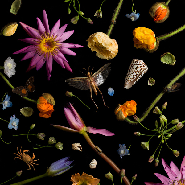 Botanical IV (Water Lilies and Poppies), 2013 from the series:  Botanicals  24 x 24 inches (edition of 7) 36 x 36 inches (edition of 5) archival pigment print