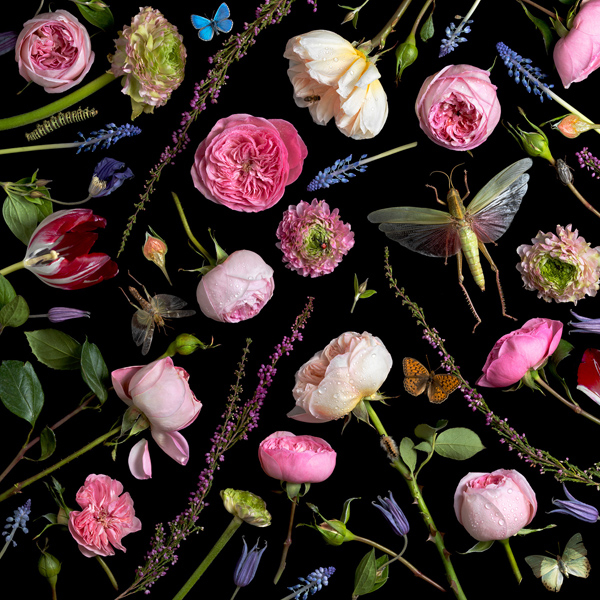 Botanical VI (Juliet Roses), 2013 from the series:  Botanicals  24 x 24 inches (edition of 7) 36 x 36 inches (edition of 5) archival pigment print