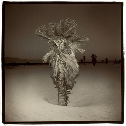 Palm, 1975  vintage split toned silver print 14 x 14 inches