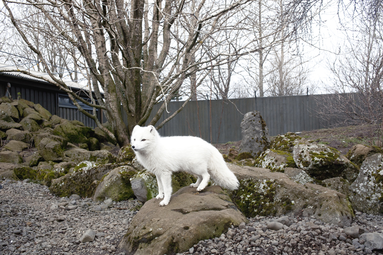 Arctic Fox, ReykjaviÍk, 2011 from the series  Ísland  24 x 35.5 inches / 60 x 90 cm (edition of 8) 29.5 x 43.5 inches / 75 x 110 cm (edition of 8) archival pigment print