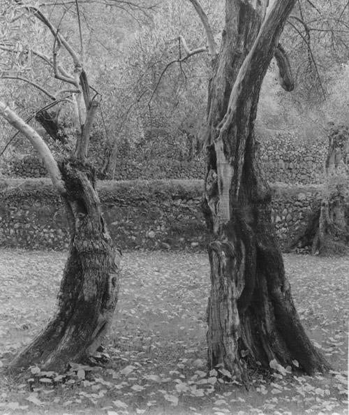 Ellen Auerbach Dancing Trees, Mallorca, 1959 12 x 11 inches silver print
