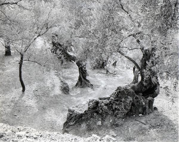 Ellen Auerbach Olive Grove, Mallorca, 1959 11 x 13 inches silver print