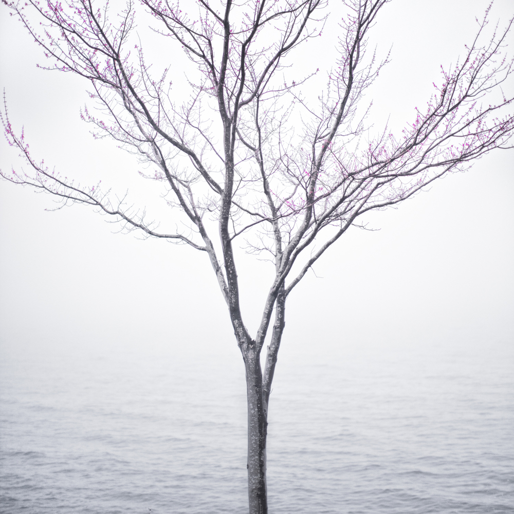 Spring Tree in Fog, Lincolnville, Maine, 2012 14 x 14 inches (edition of 10) chromogenic dye coupler print 28 x 28 inches (edition of 5) chromogenic dye coupler print 40 x 40 inches (edition of 7) dye sublimation print on aluminum 12 x 12 inches (edition of 5) animated photograph