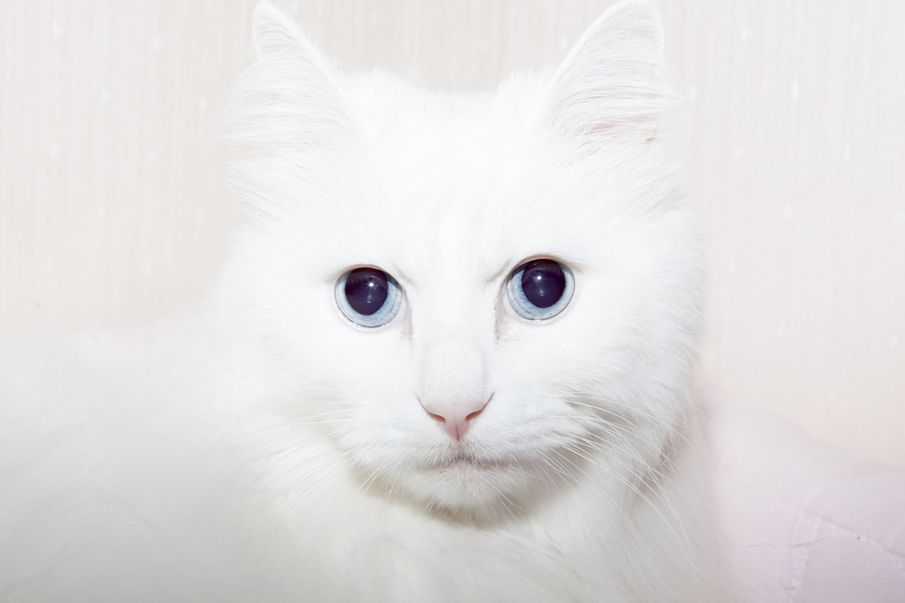 White Cat, 2014 from the series: You are More than Beautiful 24 x 35.5 inches (edition of 6) 29.5 x 43 inches (edition of 6) archival pigment print