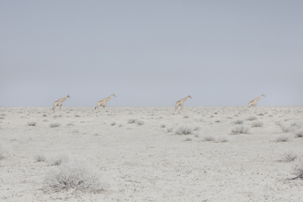 Maroesjka Lavigne Four Giraffes, Namibia, 2015 23.5 x 35.5 inches (edition of 6) 29.5 x 43 inches (edition of 6) archival pigment print