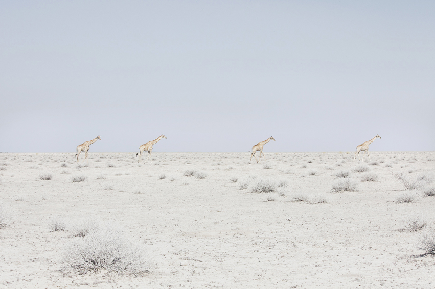 Four Giraffes, Namibia, 2015 from the series: Land of Nothingness 24 x 35.5 inches (edition of 6)  29.5 x 43.5 inches (edition of 6) archival pigment print