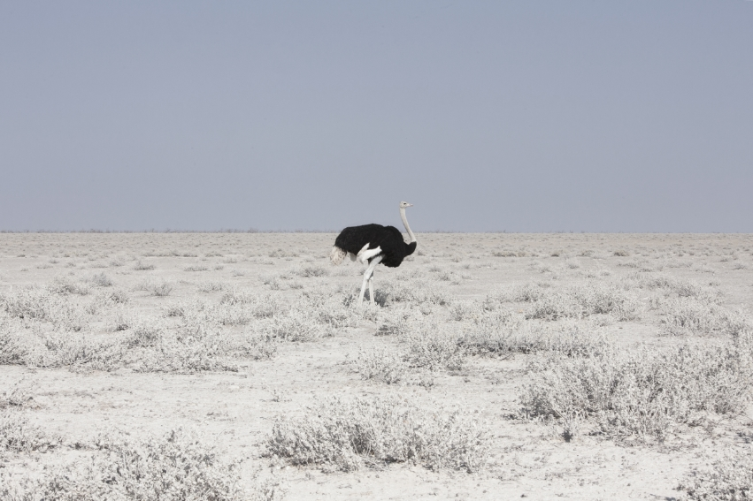Ostrich, Namibia, 2015 from the series: Land of Nothingness 24 x 35.5 inches (edition of 6)  29.5 x 43.5 inches (edition of 6) archival pigment print