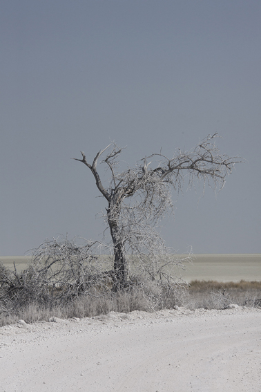 White Dust Tree, Namibia, 2015 from the series: Land of Nothingness 29.5 x 19.5 (edition of 6) 43.5 x 29.5 inches (edition of 6) archival pigment print