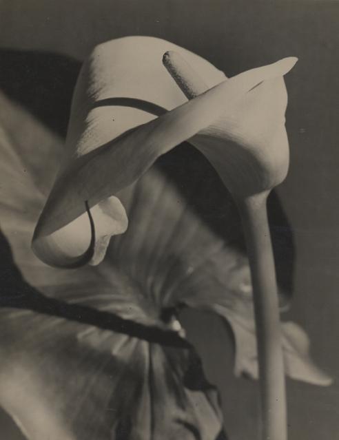 Kalla (calla lily), 1931 9 x 7 inches vintage silver print