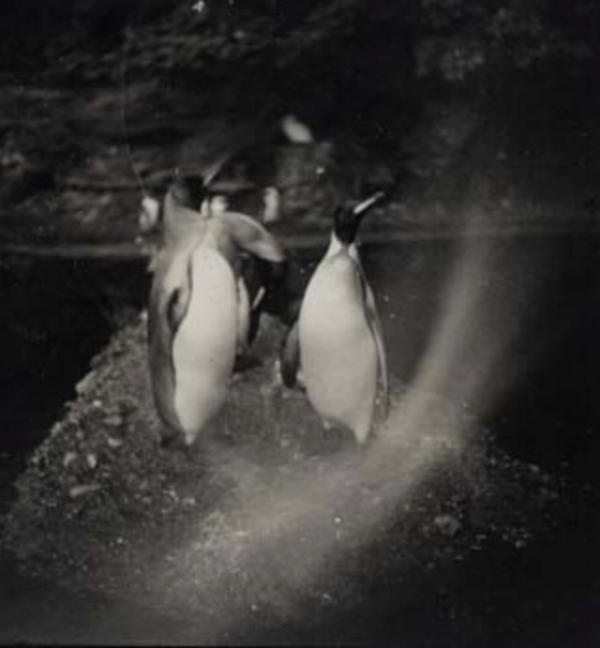 Artur Nikodem Three Penguins in Munich - Tiergarten, 1930 2.5 x 2.5 inches  vintage silver print