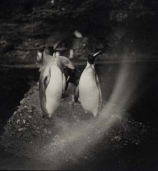 Artur Nikodem Three Penguins in Munich - Tiergarten, 1930 2.5 x 2.5 inches  vintage silver print