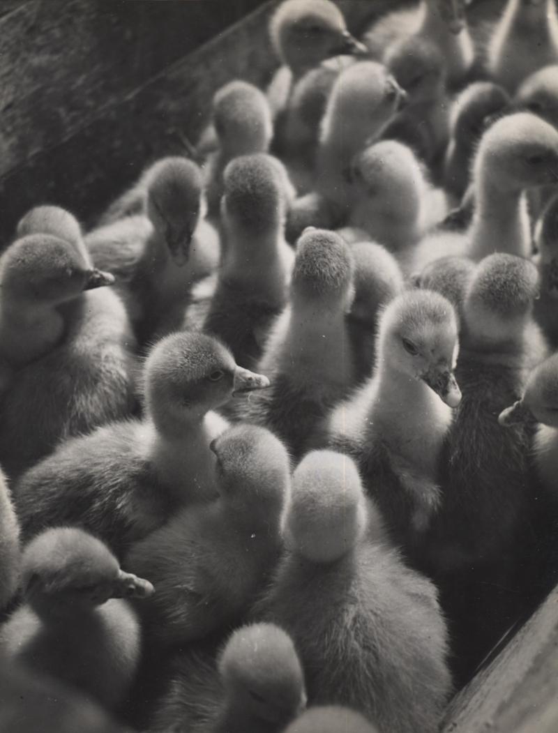 Elisabeth Hase Untitled (Ducks) 9.25 x 7 inches silver print