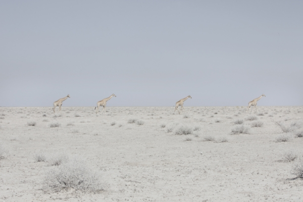 Four Giraffes, Namibia, 2015 from the series: The Land of Nothingness 24 x 35.5 inches (edition of 6) 29.5 x 43 inches (edition of 6) archival pigment print