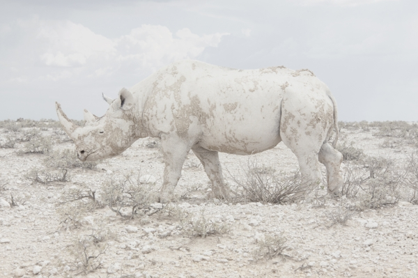 White Rhino, Namibia, 2015 from the series: Land of Nothingness 24 x 35.5 inches (edition of 6)  29.5 x 43.5 inches (edition of 6) 40 x 60 inches (edition of 3) archival pigment print