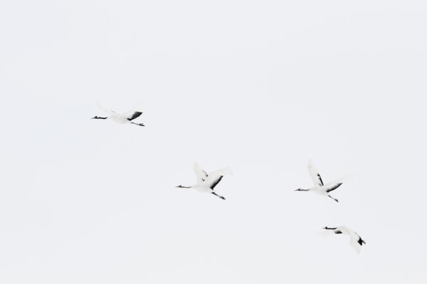 Maroesjka Lavigne Crane Birds, 2015 24 x 35.5 inches (edition of 6) 29.5 x 43 inches (edition of 6) archival pigment print