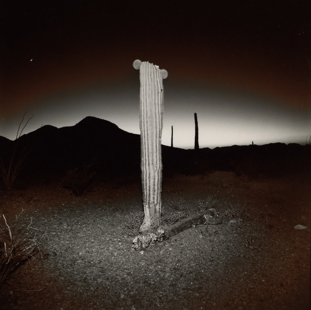 Desert Cactus, 1975  Vintage split-toned silver print  20 x 16 inches
