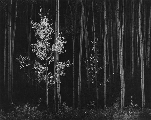 Aspens ,  Northern New Mexico , 1958  Silver print  17.5 x 22.25 inches