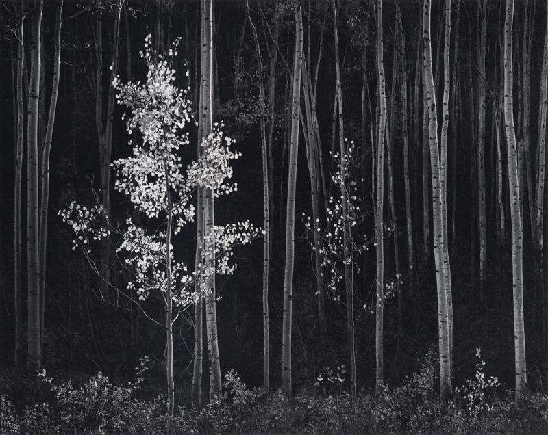 Aspens, Northern New Mexico , 1958