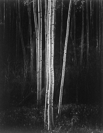 Aspens, New Mexico , 1958