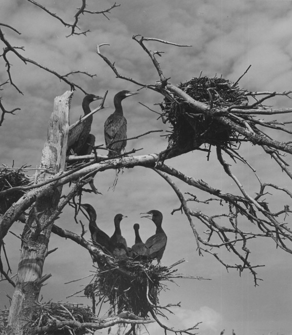 Young Cormorants, ME , 1939  Vintage silver print mounted to card  8.5 x 7.5 inches