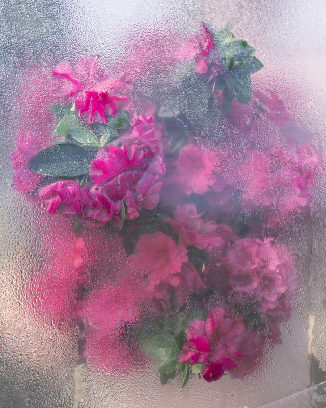 Azaleas Pressing, Rockport, Maine , 2018  Chromogenic dye coupler print  20 x 16 inches, Edition of 10 40 x 30 inches, Edition of 7