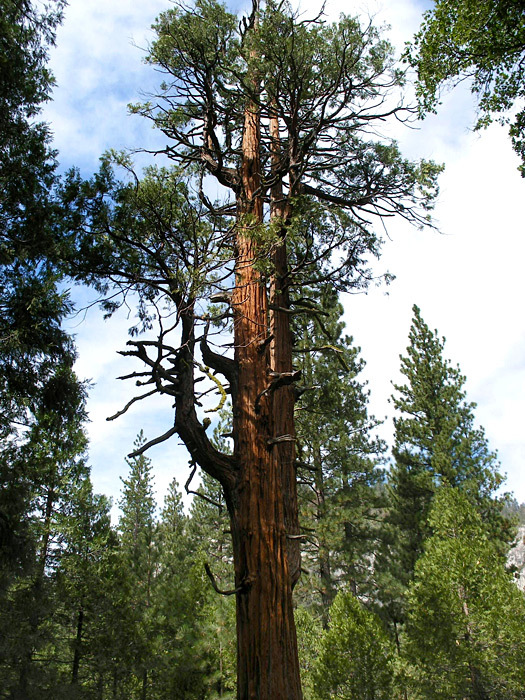 Zumwalt Tree, from www.americansouthwest.net